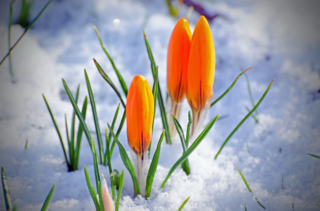 Orange crocus in snow
