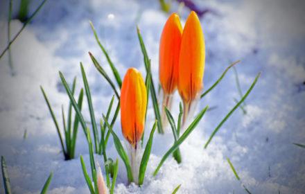 krokus-oranje-sneeuw